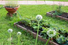Flores da cebola branca no close-up do jardim Foto de Stock Royalty Free