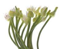 Flores da cebola da mola Fotos de Stock