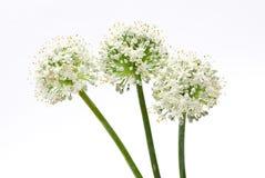 Flores da cebola do Allium Fotos de Stock Royalty Free