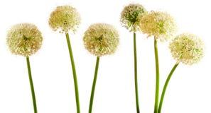 Flores da cebola isoladas Foto de Stock Royalty Free