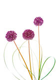 Flores da cebola isoladas no branco fotografia de stock royalty free