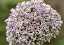 Flores da cebola para a semente que propogating Fotos de Stock Royalty Free