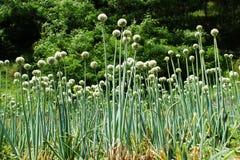 Flores da cebola verde Fotos de Stock Royalty Free