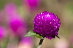Flores da cebola vermelha Fotos de Stock Royalty Free