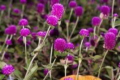Flores da cebola vermelha Foto de Stock