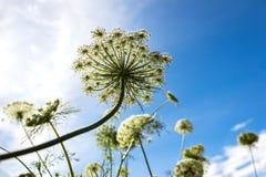 Flores da cenoura no céu azul fotos de stock royalty free