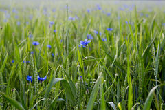 Flores da centáurea no campo Imagens de Stock