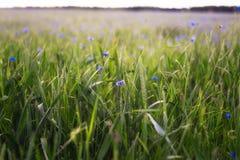 Flores da centáurea no campo Fotografia de Stock Royalty Free