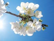 Flores da cereja Fotos de Stock Royalty Free
