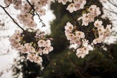 Flores da cereja Foto de Stock Royalty Free