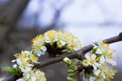Flores da cereja Foto de Stock