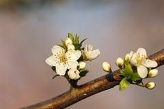 Flores da cereja da cera imagem de stock