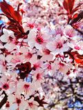 Flores da cereja da mola Imagens de Stock Royalty Free