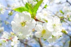Flores da cereja do Close-up Fotos de Stock