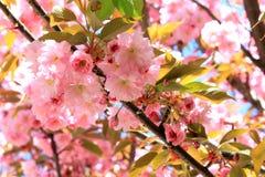 Flores da cereja do japonês de sakura Fotos de Stock