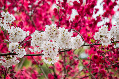 Flores da cereja e do pêssego em Shinjuku Gyoen, Tóquio, Japão foto de stock
