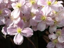 Flores da clematite Imagens de Stock