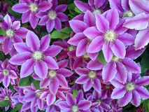 Flores da clematite foto de stock