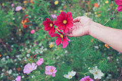 Flores da colheita da jovem mulher no prado Imagens de Stock