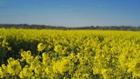 Flores da colza da semente oleaginosa no campo agrícola cultivado, conceito de Agrotech da proteção de colheita filme