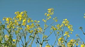 Flores da colza da semente oleaginosa no campo agrícola cultivado, conceito de Agrotech da proteção de colheita video estoque