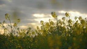 Flores da colza da semente oleaginosa no campo agrícola cultivado, conceito de Agrotech da proteção de colheita vídeos de arquivo