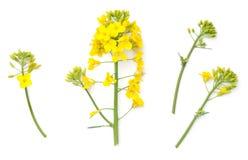 Flores da colza isoladas no fundo branco Foto de Stock