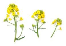 Flores da colza isoladas no fundo branco Fotografia de Stock Royalty Free