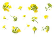 Flores da colza isoladas no fundo branco Imagens de Stock Royalty Free