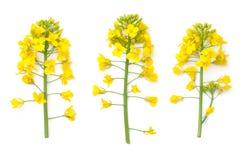 Flores da colza isoladas no fundo branco Fotografia de Stock