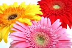 Flores da cor Imagem de Stock