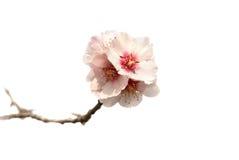 Flores da cor-de-rosa da árvore de amêndoa. Fotografia de Stock Royalty Free