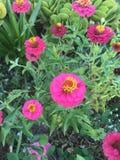 Flores da cor-de-rosa quente Fotos de Stock Royalty Free