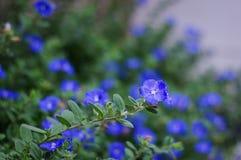 Flores da corriola do anão na luz da manhã Imagens de Stock