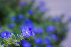 Flores da corriola do anão na luz da manhã Imagens de Stock Royalty Free
