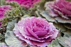 Flores da couve Fotos de Stock