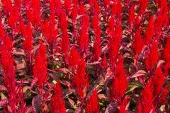 Flores da crista imagens de stock