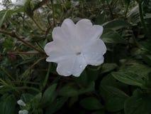 Flores da erva daninha Imagens de Stock