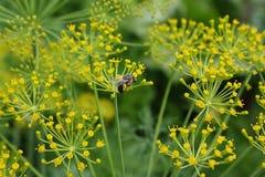 Flores da erva-doce e de uma abelha na horta Fotografia de Stock Royalty Free