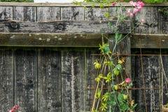 Flores da ervilha na flora cor-de-rosa completa Fotos de Stock Royalty Free