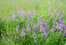 Flores da ervilha selvagem Fotos de Stock Royalty Free