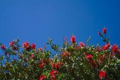 Flores da escova de garrafa fotografia de stock royalty free