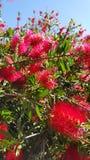 Flores da escova de garrafa Fotografia de Stock