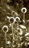 Flores da esfera de Monocolor fotos de stock royalty free