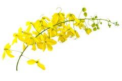 Flores da fístula da cássia ou do chuveiro dourado no branco Imagem de Stock