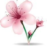 Flores da flor de cereja Fotografia de Stock Royalty Free
