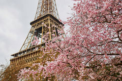 Flores da flor de cerejeira com a torre Eiffel em Paris Fotos de Stock