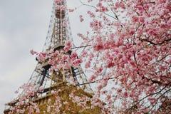 Flores da flor de cerejeira com a torre Eiffel em Paris Imagem de Stock