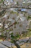 Flores da flor de cerejeira na flor Fotos de Stock Royalty Free