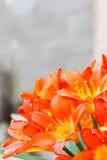 Flores da flor de Clivia Imagens de Stock Royalty Free